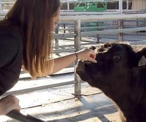 A student pets a cow